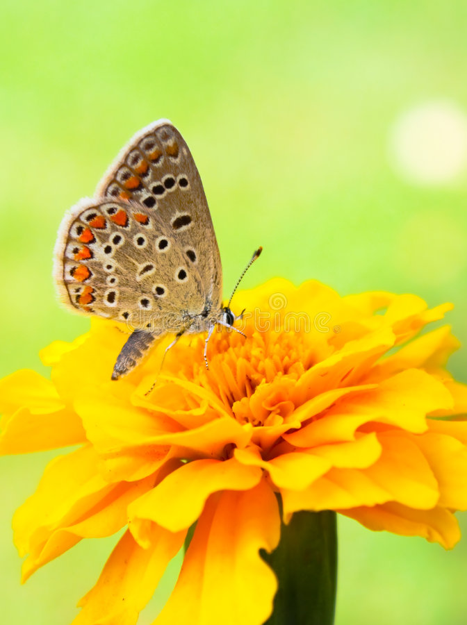 Free Butterfly On Flower Royalty Free Stock Image - 5852656