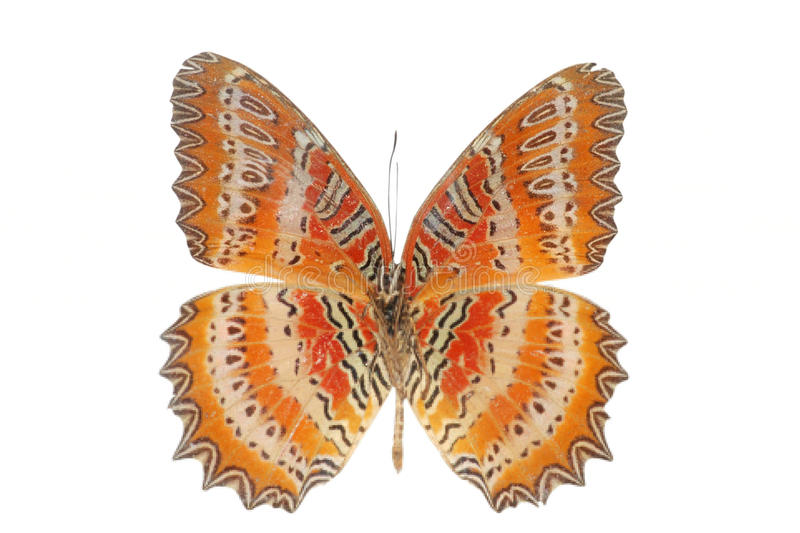 Butterfly orange. Orange butterfly isolated in white background royalty free stock image