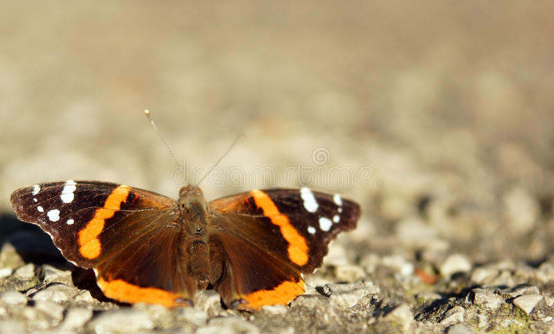 Butterfly. An orange and brown butterfly on the ground stock image