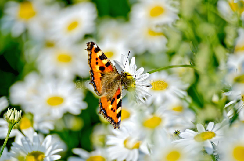 Butterfly orange on a white flower. Orange butterfly feeds on nectar from a flower chamomile stock photography