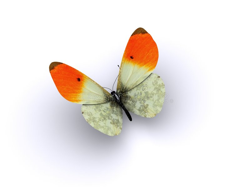 Butterfly Orange Wing Tips Royalty Free Stock Photo