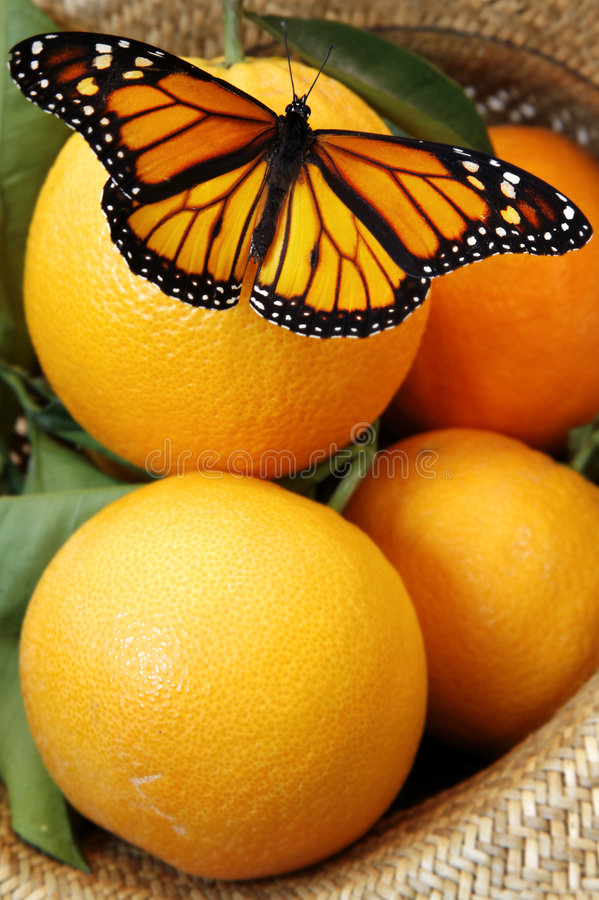 Butterfly on Oranges royalty free stock photo