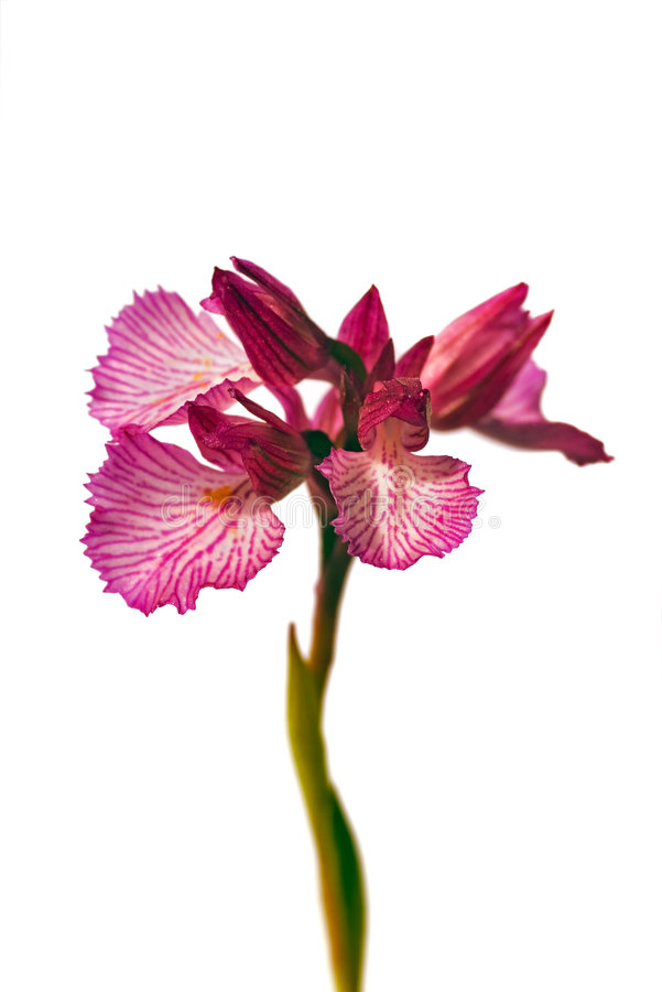 Butterfly orchid royalty free stock images