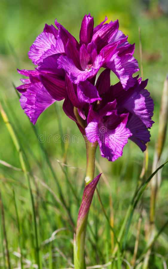 Butterfly orchid royalty free stock photos