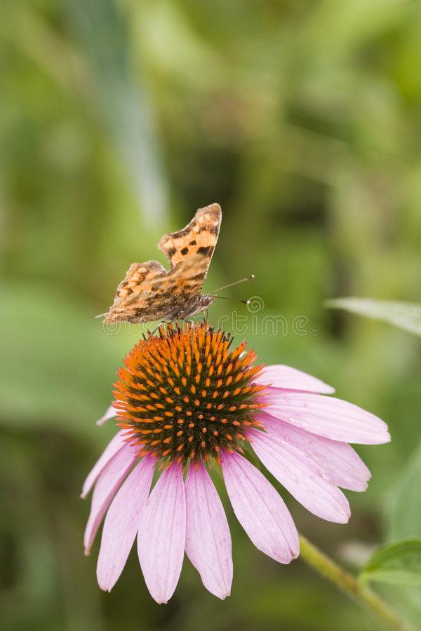 Butterfly over echinacea stock photography