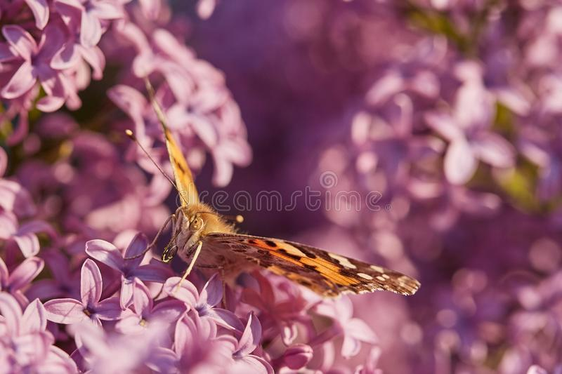Butterfly painted lady. Vanessa cardui royalty free stock photo