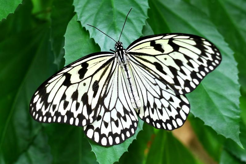 Butterfly paper kite Idea leuconoe Insect royalty free stock images