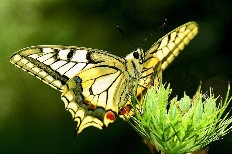 Butterfly Papilio machaon stock photos