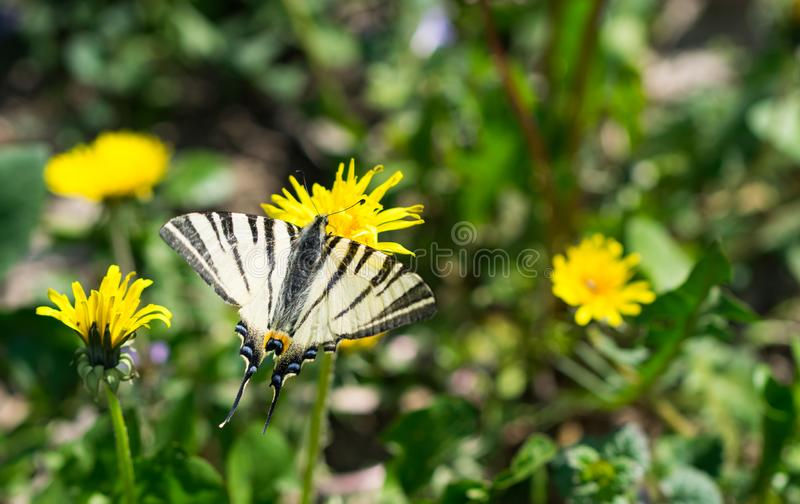 Butterfly Papilio machaon, common white swallowtail in the field. Butterfly Papilio machaon, common white swallowtail standing on the yellow dandelion flower in stock image