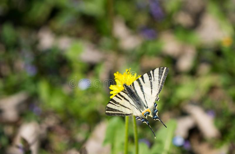 Butterfly Papilio machaon, common white swallowtail standing on the flower in the field. Butterfly Papilio machaon, common white swallowtail standing on the stock photos