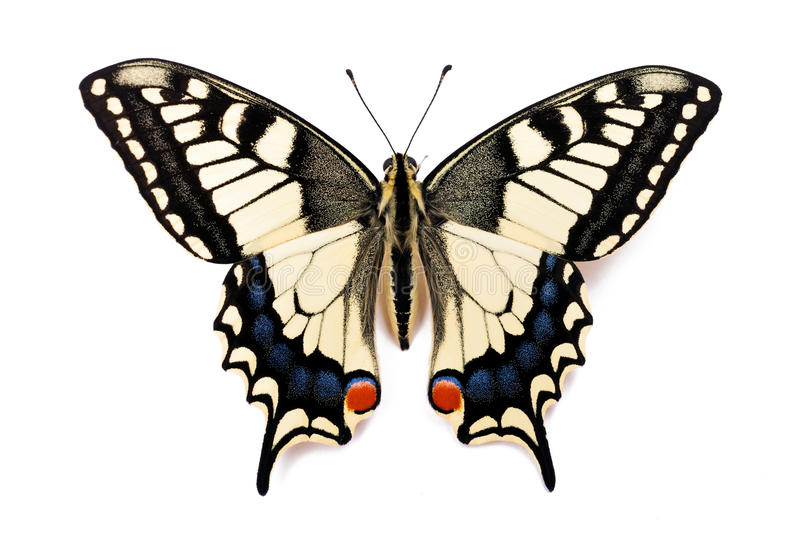 Butterfly Papilio machaon. (Common Yellow Swallowtail) on the white background royalty free stock images
