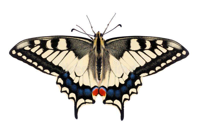 Butterfly Papilio machaon. (Common Yellow Swallowtail) on the white background royalty free stock photography
