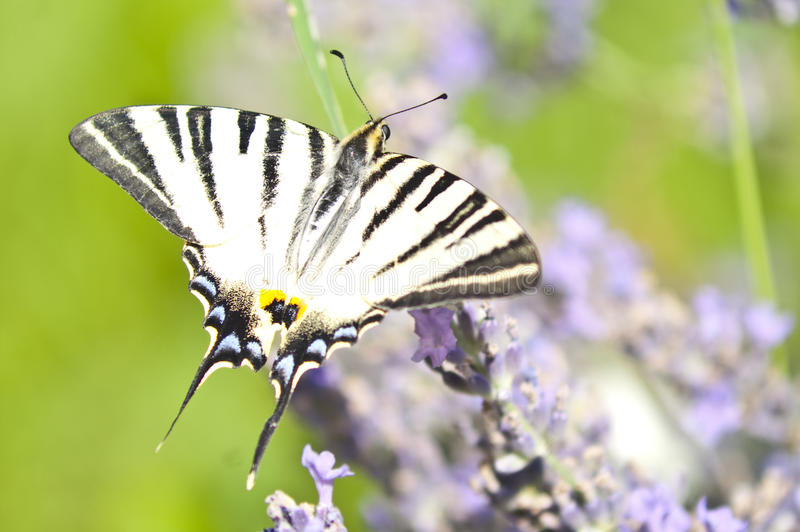 Download Butterfly Papilio Machaon On Lavender Stock Photo - Image: 26387788