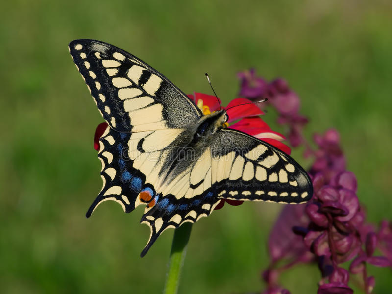 Butterfly Papilio machaon. On red flower royalty free stock image