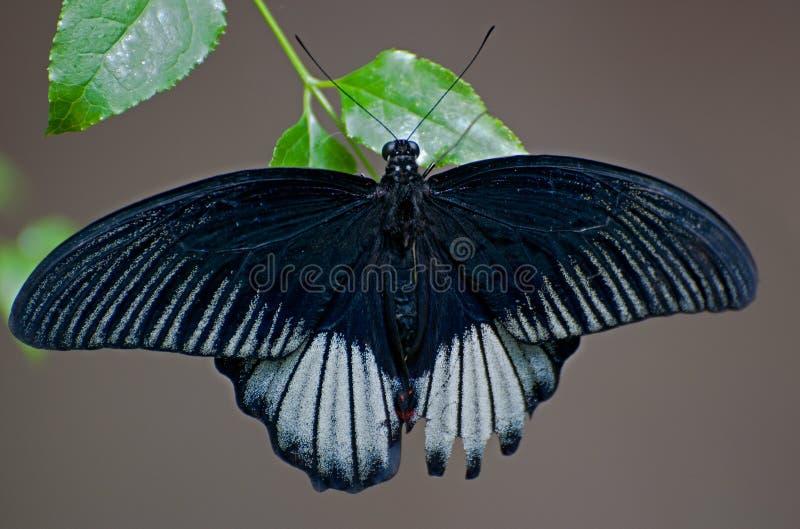 Butterfly Papilio memnon agenor. Butterfly beauty Papilio memnon agenor in botanical garden, Prague, Czech republic stock photo