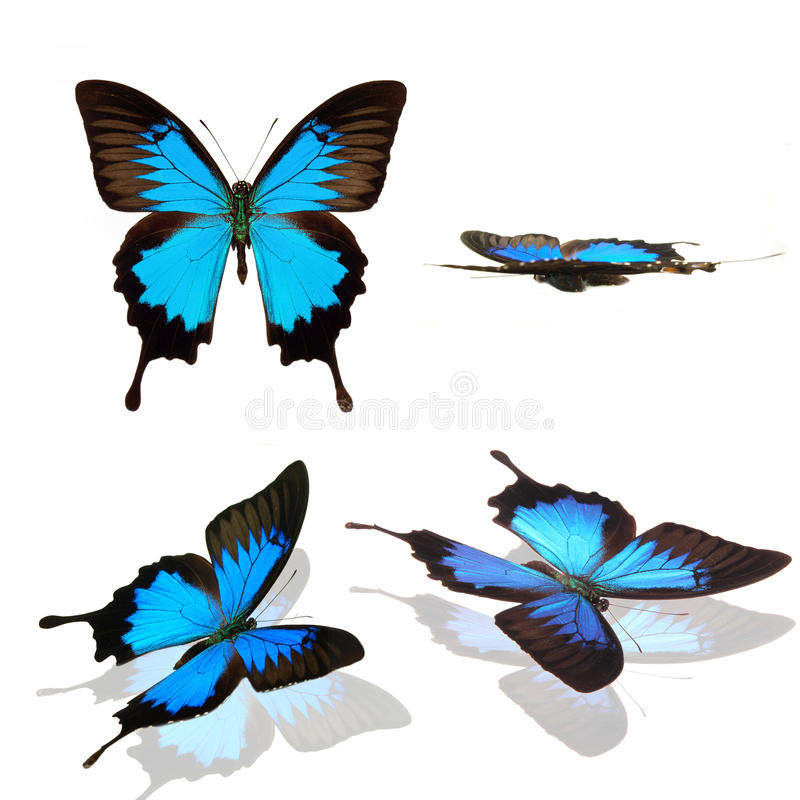 Butterfly papilio ulysses collection stock illustration