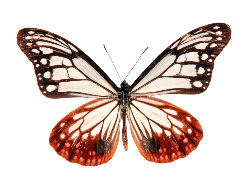 Butterfly Parantica Sita Niphonica stock photography