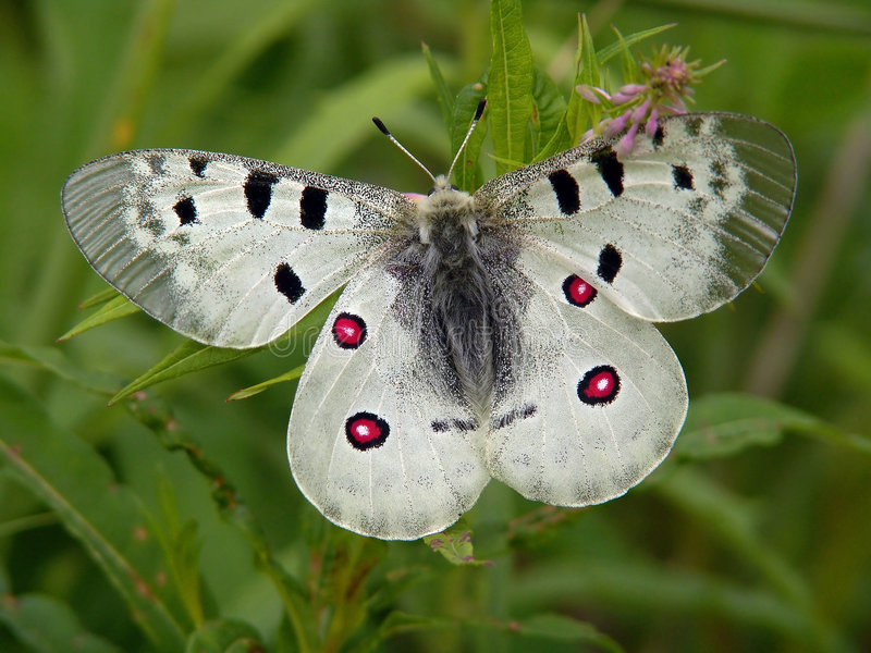 Download Butterfly Parnassius Apollo. Royalty Free Stock Photo - Image: 513195