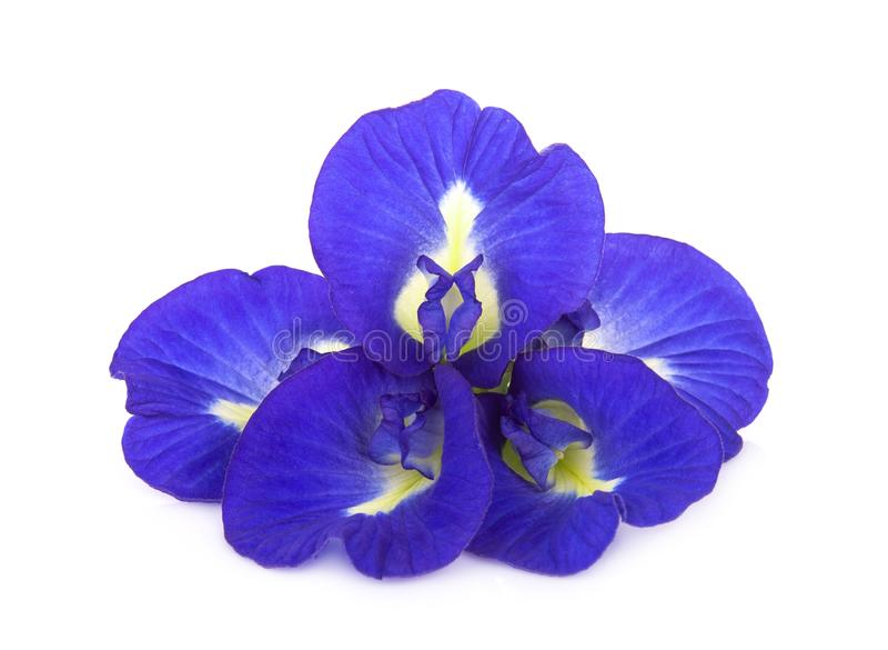 Butterfly pea, blue pea, or asian pigeonwings flower isolated on white background stock image