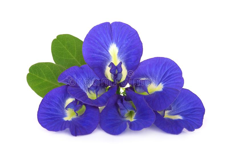 Butterfly pea, blue pea, or asian pigeonwings flower with leaf isolated on white stock photos