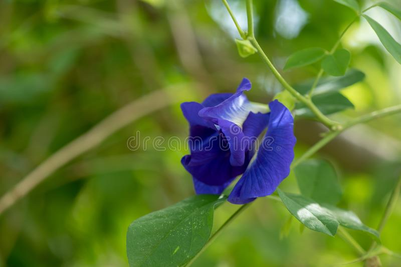 Butterfly pea or Blue Pea Flower, Clitoria ternatea stock images