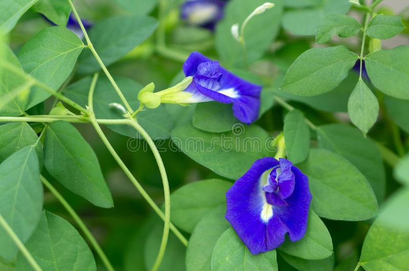 Butterfly pea flower with branch, herb and medical concept. Butterfly pea flower with branch, herb and medical royalty free stock photography