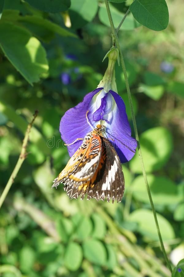 Butterfly on pea flower. Close up butterfly on pea flower stock images