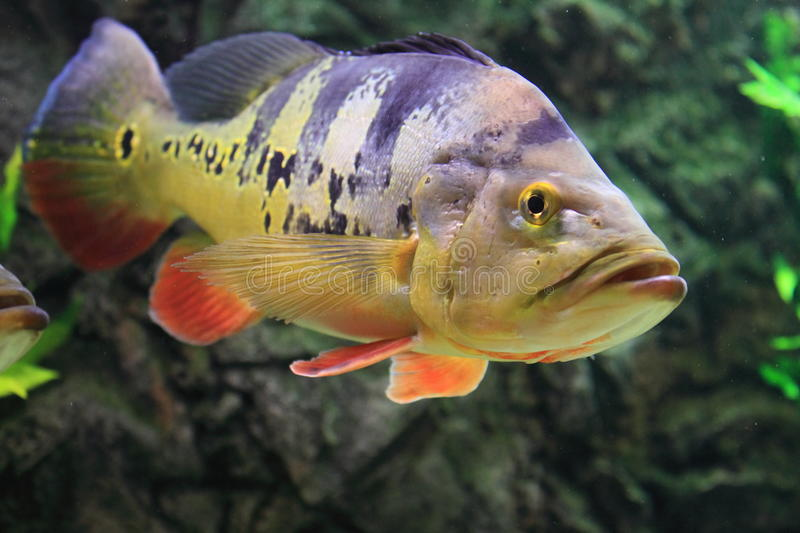Download Butterfly peacock bass stock image. Image of peacock - 27619283