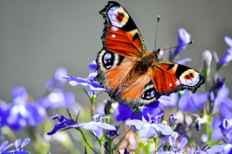 An European Peacock butterfly full of colors on a purple flower royalty free stock photos