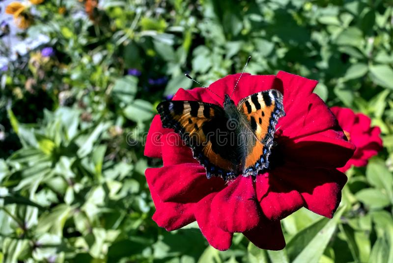 The Butterfly Of Peacock Eye On A Red Flower Stock Photo
