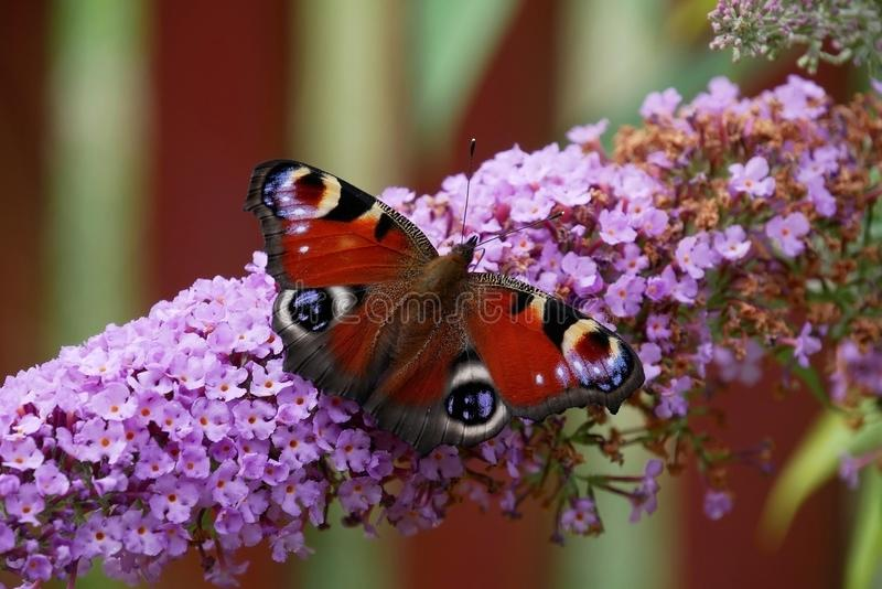 Butterfly - peacock butterfly - Inachis io - sits on a butterfly lilac in fron a butterfly lilac. Butterfly - peacock butterfly - Inachis io - sits on a royalty free stock images