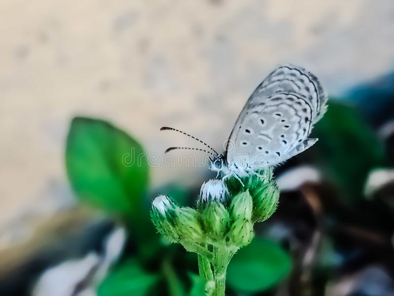 A butterfly perched over a flower that still buds, insect wing, nature background, small animal royalty free stock images