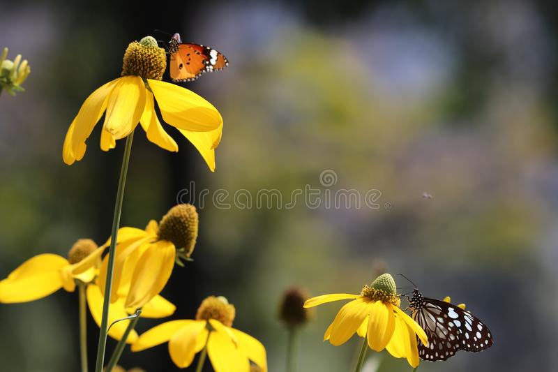 Butterfly Pieridae family animal wildlife blue and white colorful feeding nectar from flower in the garden and daylight in summer. Season stock image