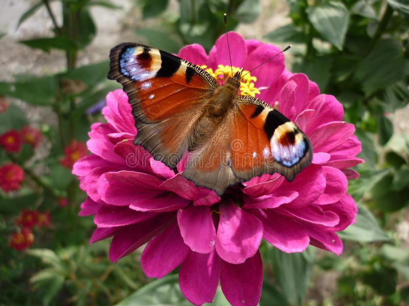 butterfly on a pink flower royalty free stock photography