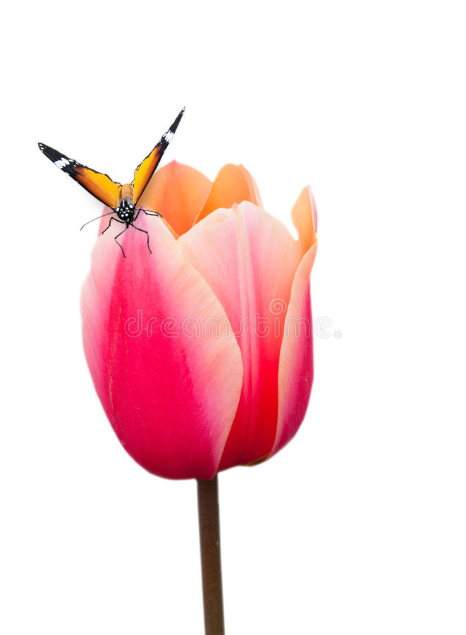 Butterfly on pink tulip