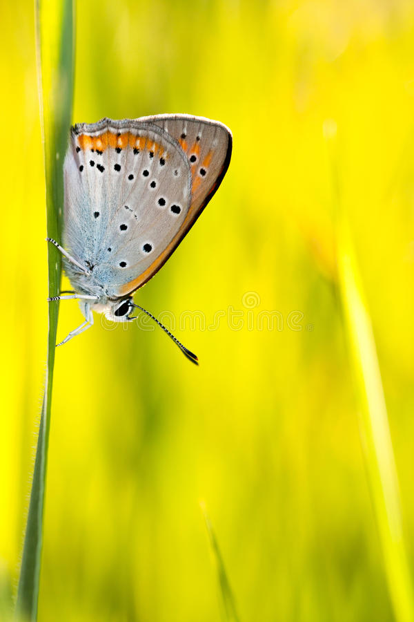 Download Butterfly Plebejus Idas stock photo. Image of flora, lepidoptera - 20120218
