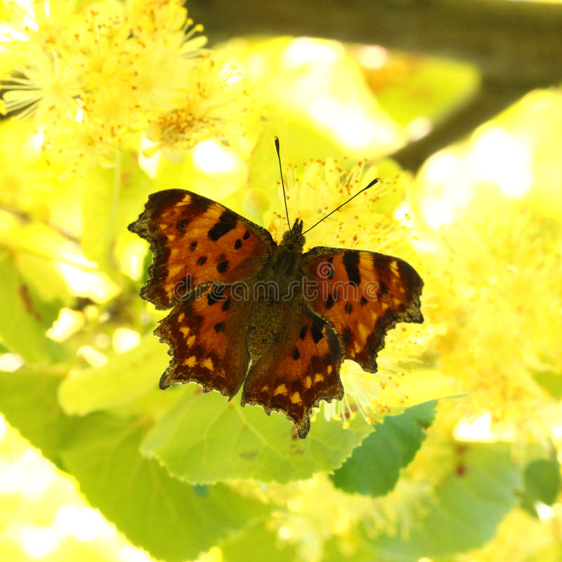 Butterfly (Polygonia c-album) royalty free stock photo