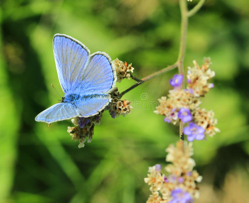 Butterfly (Polyommatus amandus) royalty free stock photography