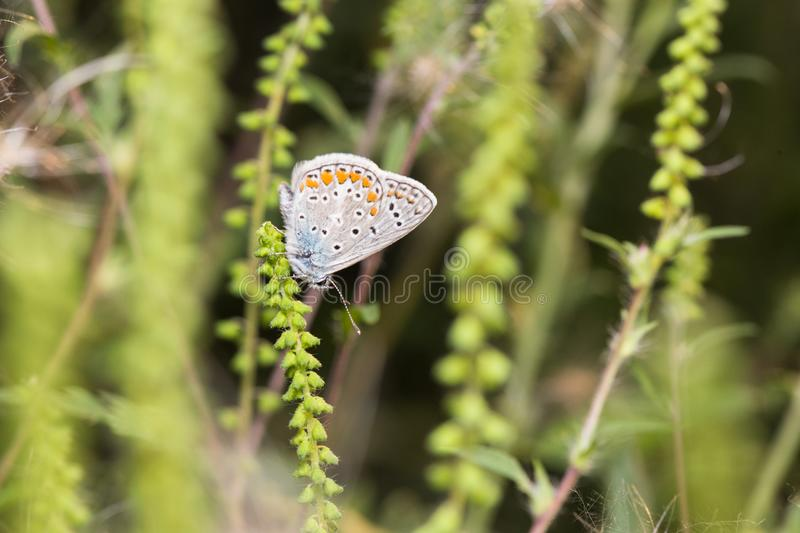Butterfly - Polyommatus icarus royalty free stock photo