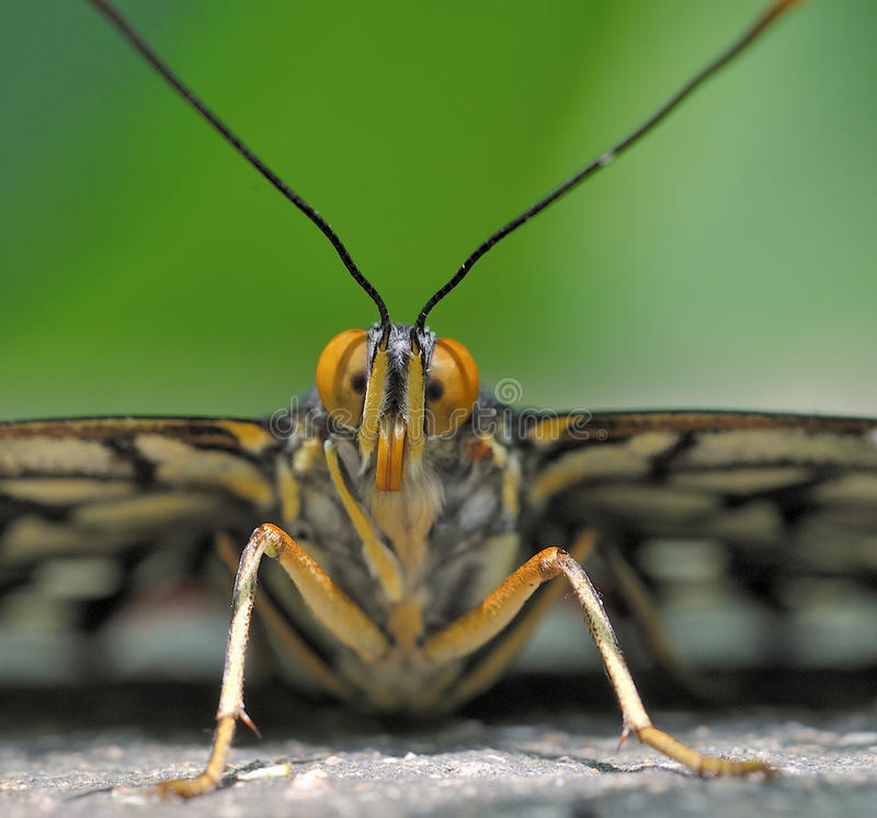 Free Butterfly Portrait Stock Photos - 20233193