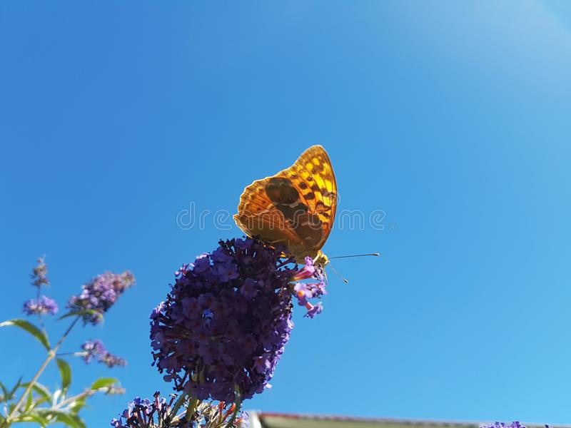 Butterfly in the country. Butterfly posed on a flower in the country royalty free stock image