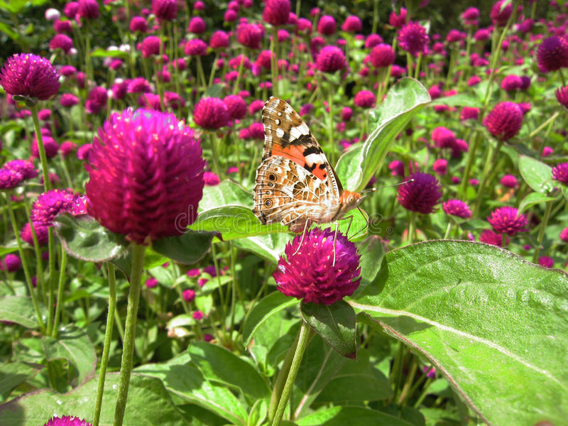 Download Butterfly on purple flower stock photo. Image of butterfly - 14645316