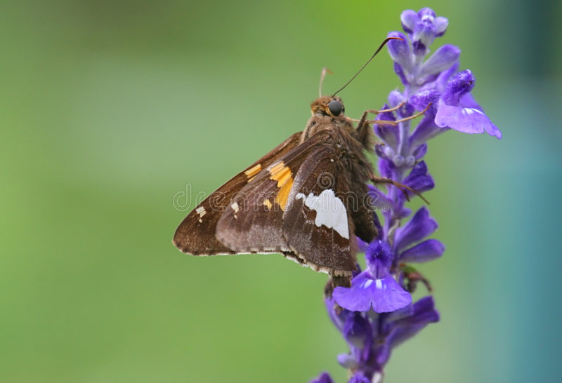 Download Butterfly On A Purple Flower Royalty Free Stock Photography - Image: 3668177