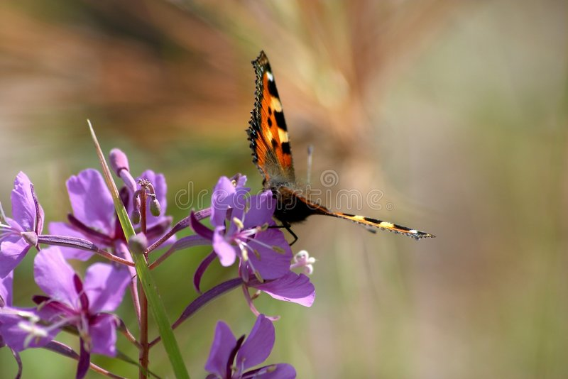Butterfly on purple flower royalty free stock photography