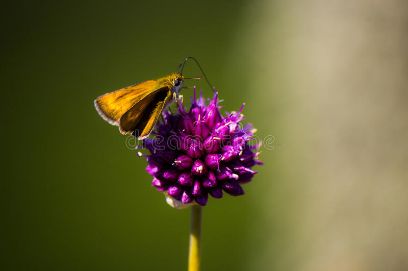 Butterfly On Purple Flower Free Public Domain Cc0 Image
