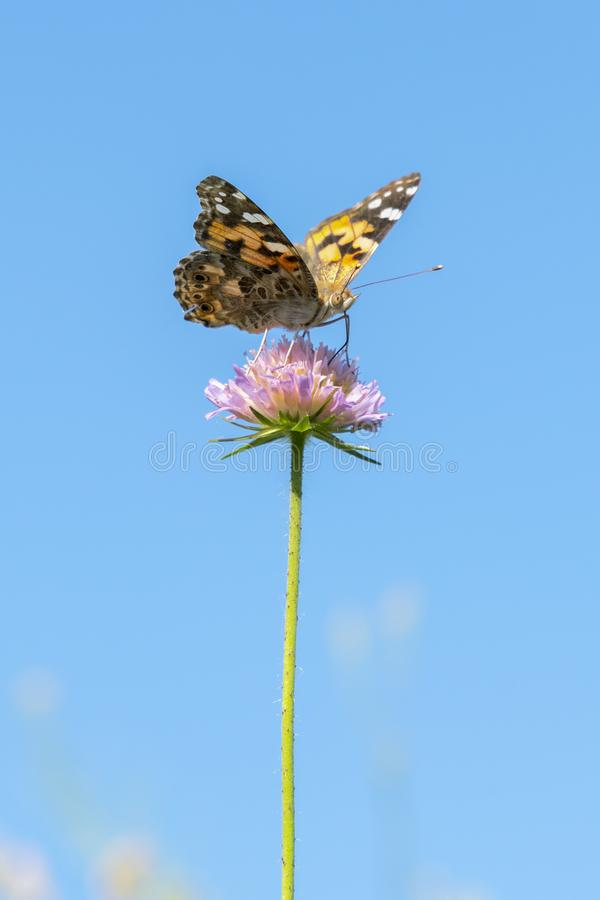 Butterfly on a purple flower against the blue sky. vertical photo. close up.  royalty free stock images