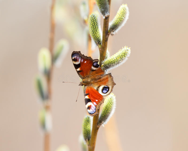 Butterfly on pussy-willow. In the spring royalty free stock photos