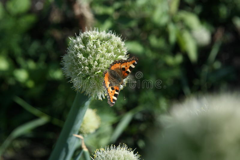 Butterfly rash on the flowered allium. In sunny day stock images