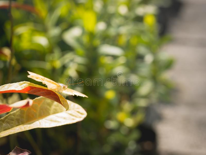 The Butterfly Ready to Flying. From The Leaf royalty free stock photo