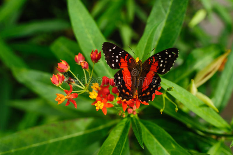 Butterfly. Red and black Butterfly on flower stock image